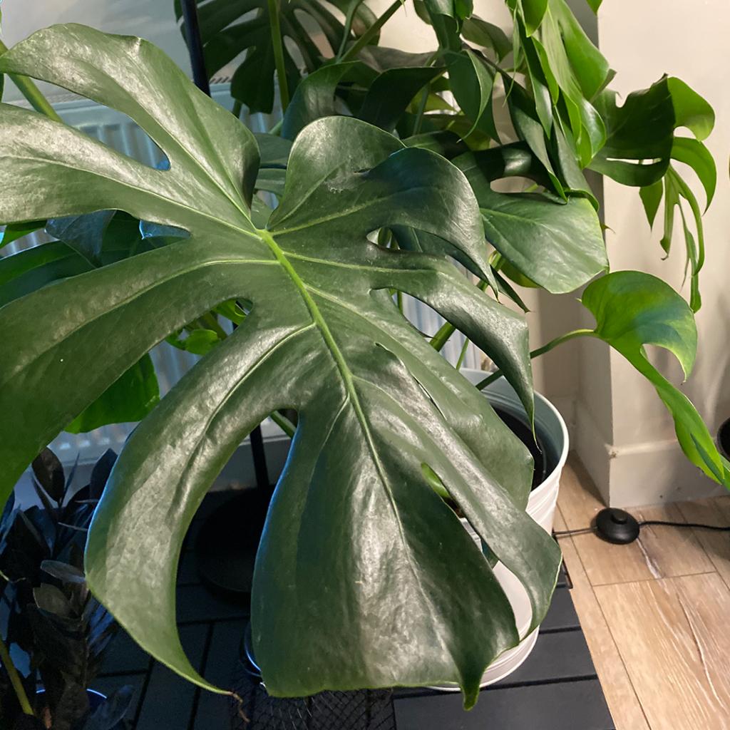 Deve Tabanı Bitki Bakımı