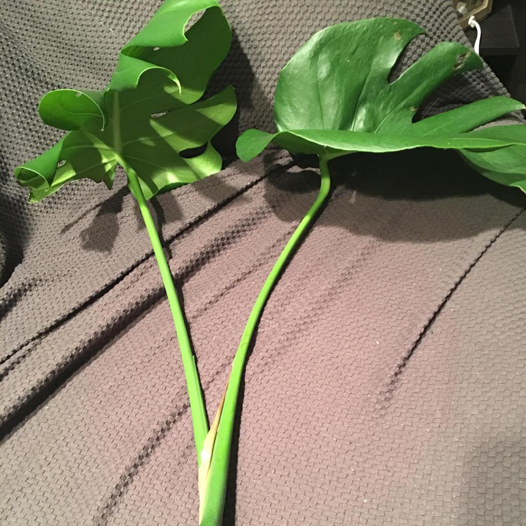 Deve Tabanı Bitki Çoğaltma Çalışması