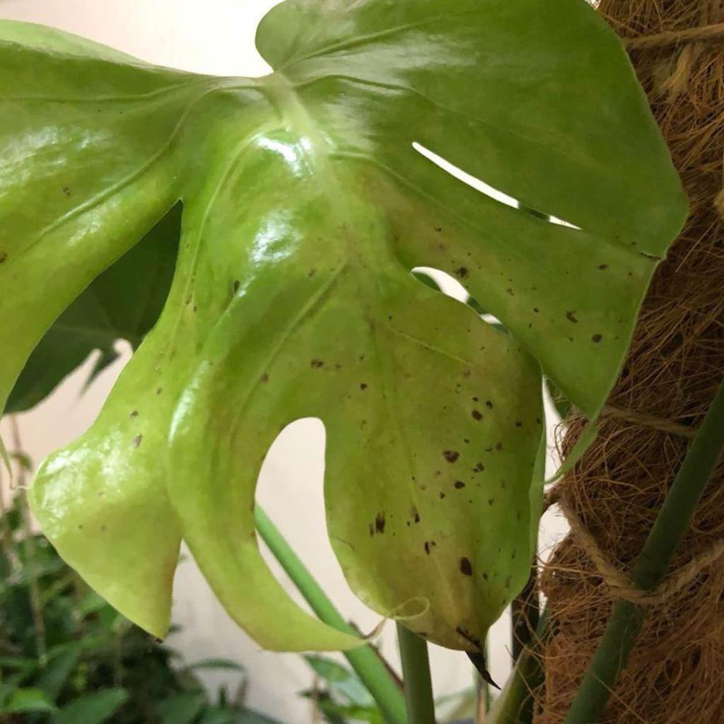 Deve Tabanı Bitki Hastalıkları