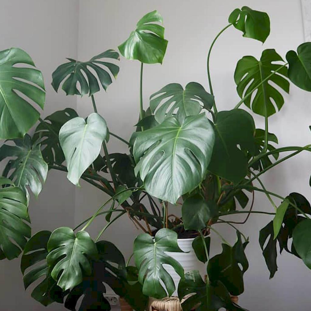 Deve Tabanı Bitki Nasıl Bakılır