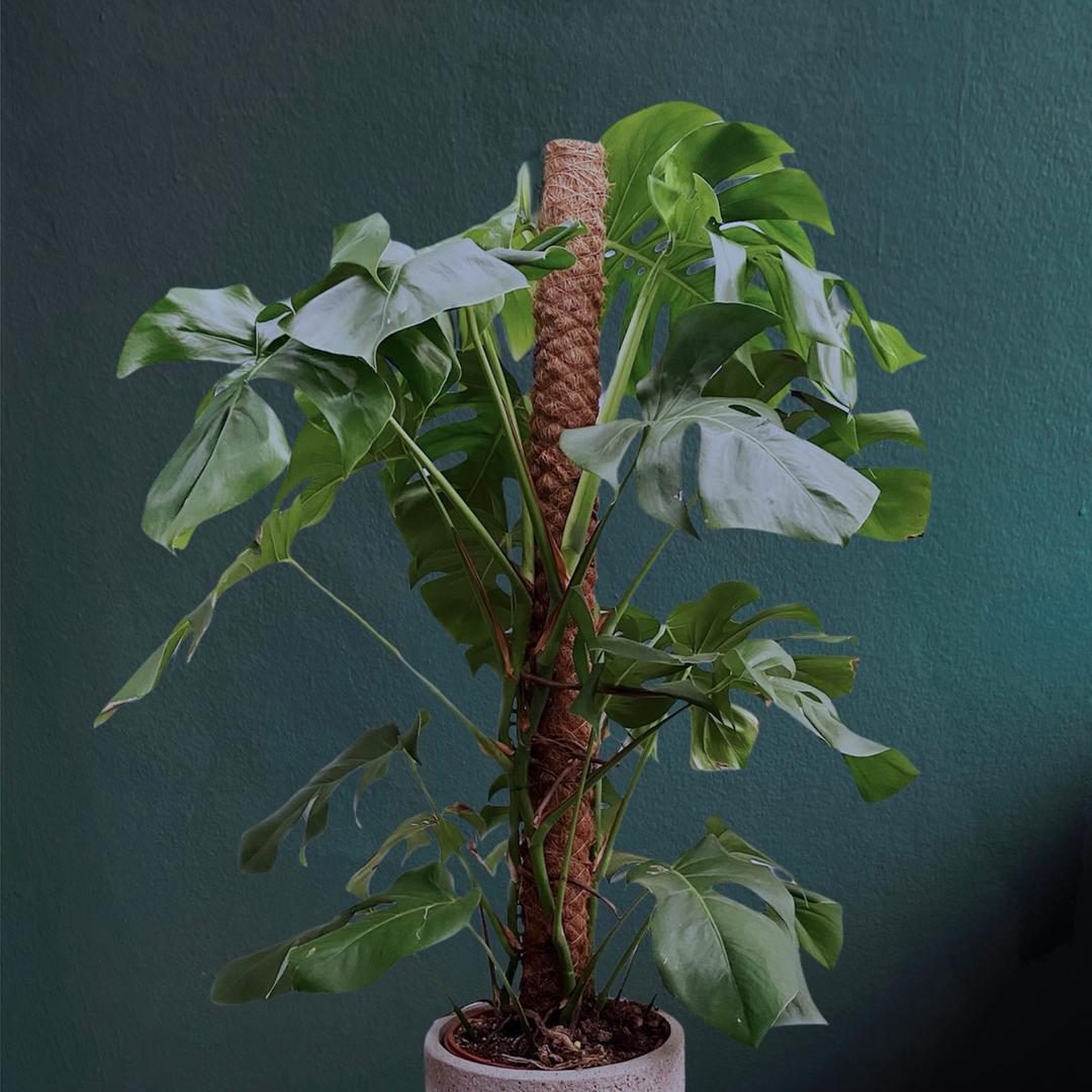 Deve Tabanı Bitki