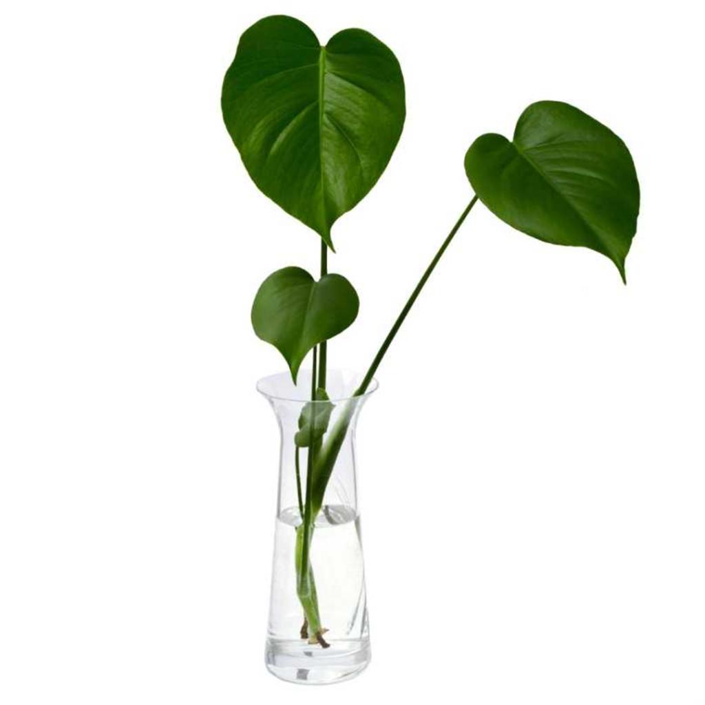 Deve Tabanı Çoğaltma Bitki