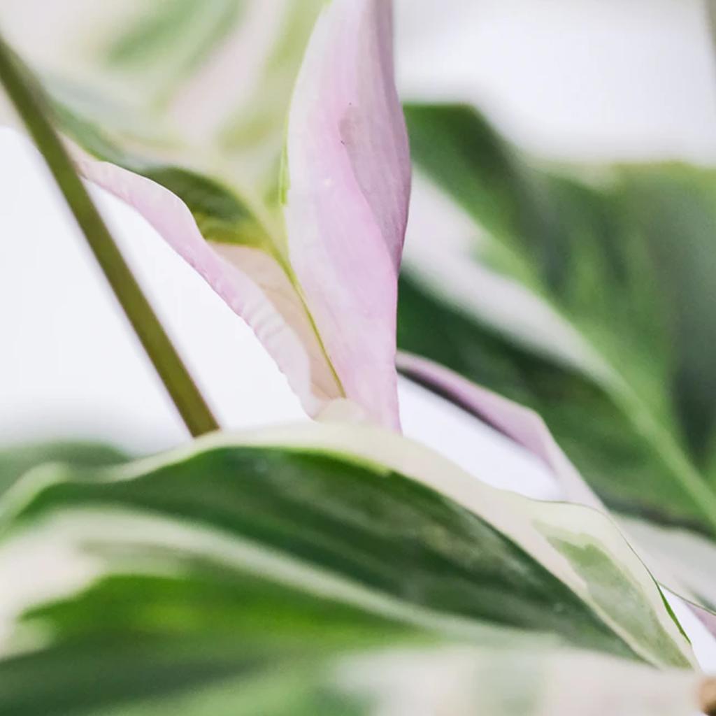 Kalatya Çiçek Konumlandırması