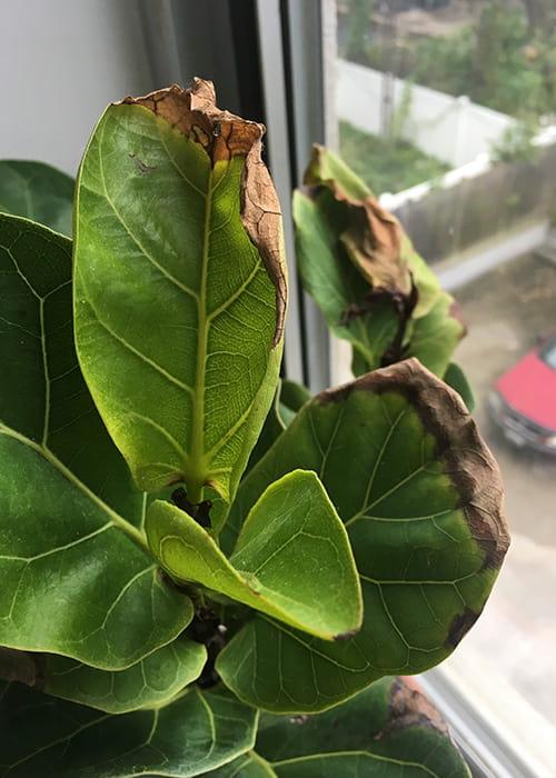 Keman Yapraklı Kauçuk